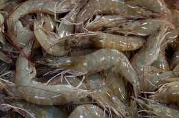 大疆漁業:南美白對蝦養殖池塘內迴圈流水養魚技術