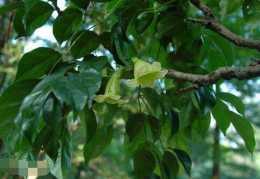 幸福樹的品種分類,盤點幸福樹五大品種