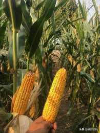 種植面積均超過100萬畝,河南這幾個玉米新品種種植面積最大