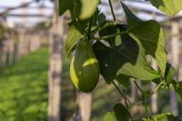 農村一棵樹結幾百斤的瓜,營養豐富,卻鮮少有人種植,你見過嗎?