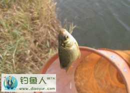 淺水垂釣鯽魚的技巧和方法